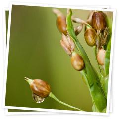 Ý Dĩ - Coix - Pearl Barley